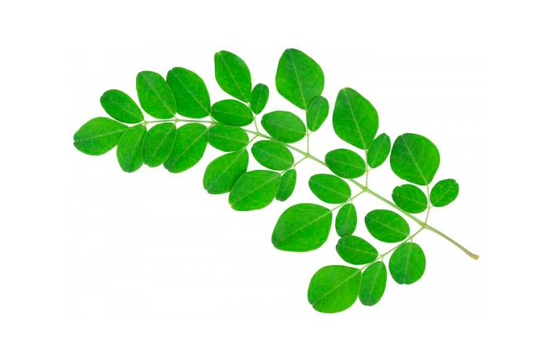 Moringa leaves on a branch
