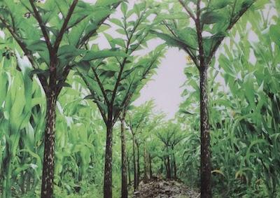 glucomannan trees